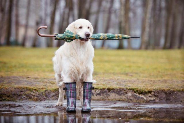 Immagine Cane con ombrello e stivali